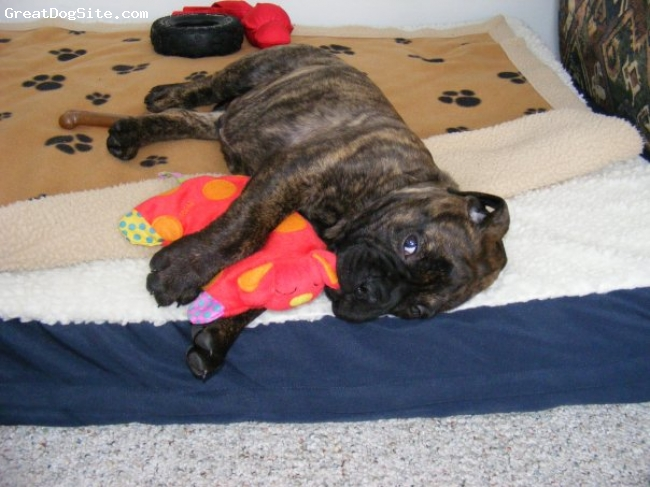 Bullmastiff, 10 weeks, Brindle, Too cute