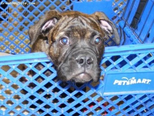 Bullmastiff, 10 weeks, Brindle, Shopping in style!!