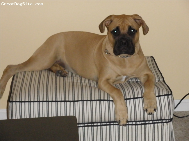 Bullmastiff, 7 mos, red fawn, too cute