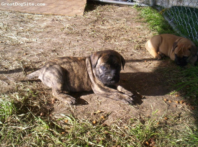 Bullmastiff, 6 weeks, Red Brindle, Gorgeous 6 week old red brindle male!