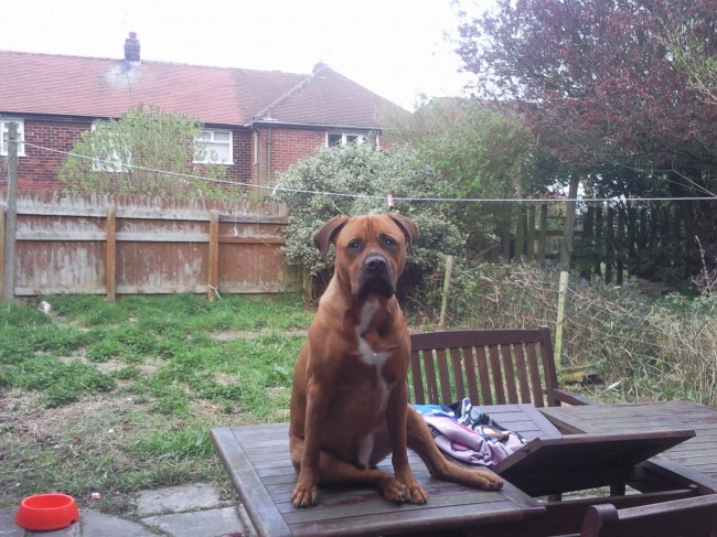 Bullmastiff, 2, red, very loyal,hyper excellent with kid very protective and full of life diesel is a very good dog were really lucky 2 have him loves playing with my other dog a pittbull and usually bullies him lol check him out and give us an email about wot u think!!!!!!!!!!!!!!
