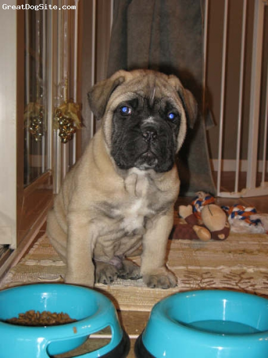 Bullmastiff, 8 weeks, Fawn, Chubby and wrinkly at 8 weeks.