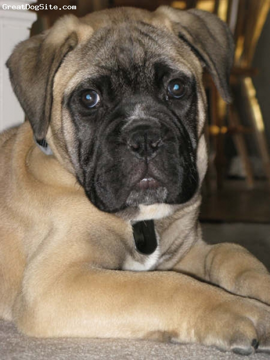 Bullmastiff, 12 Weeks, Fawn, .