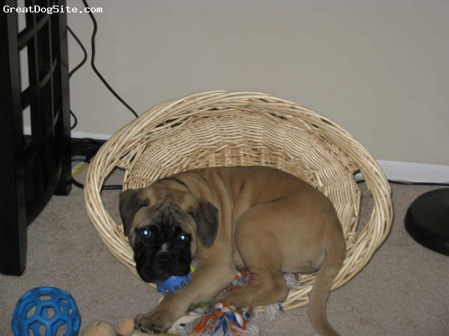 Bullmastiff, 12 Weeks, Fawn, Lying in his toy basket, chewing on his brush.