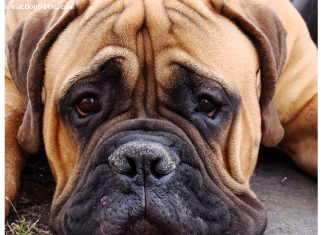 Bullmastiff, 12 mos, Red Fawn, Lucius with his puppy face!!