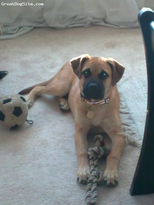 Bullmastiff, 7 months, Red, Female, awesome nature