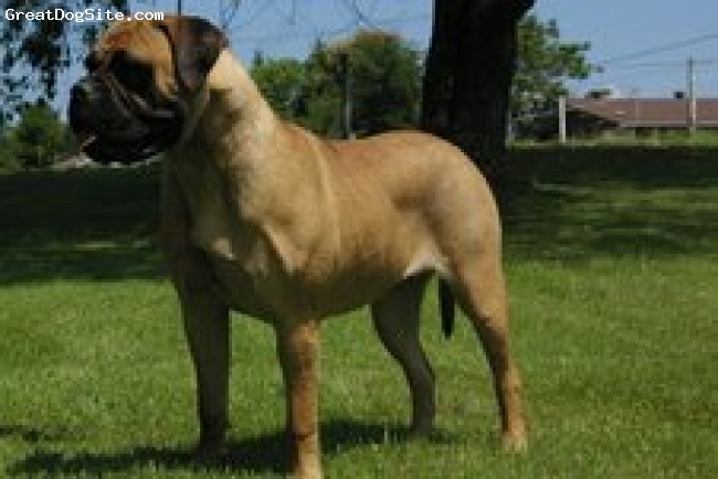 Bullmastiff, Puppies, variety, We have puppies available to approved homes, please visit our site and enjoy the photos We ship worldwide and have health guarantees on each puppy purchase.