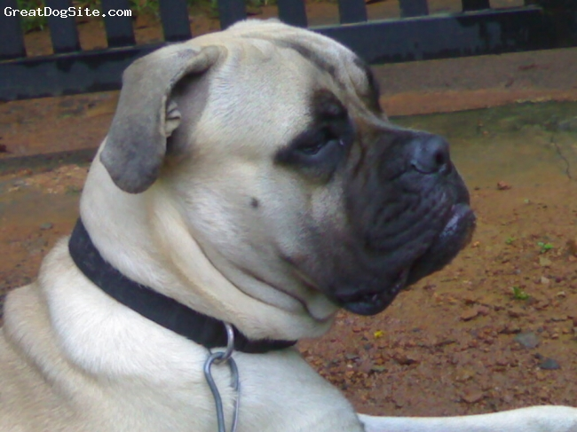 Bullmastiff, 1.2, fawn, intelligent, loyal, obedient, and courageous. This dog is both fearless and yet docile.