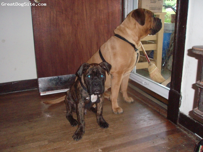 Bullmastiff, 6 months, Brindle, He's extremely energetic, and loving. He follows me everywhere. He is more sociable than my other mastiff.