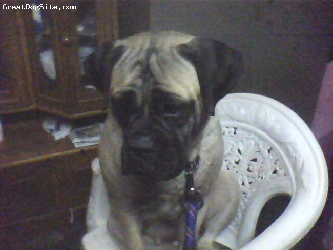 Bullmastiff, 10 month, fawn with black mask, sit in chair