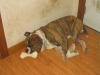 Bulloxer, 2yrs, Brindle