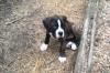 Bulloxer, 8 weeks, Brindle