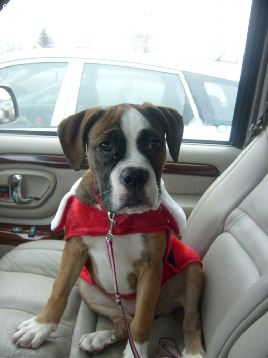 Bulloxer, 4 months, Brown and White, Stout, female, 4 months old, 35 lbs.