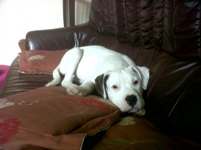 Bulloxer, 14 weeks, White, Our 14 week puppy Hades. Really lovely and intelligent dog :-)