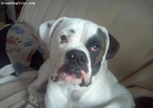 Bulloxer, 1, White with reverse brindle patch over eye, Chumlee is handsome boy with a wonderful personality.
