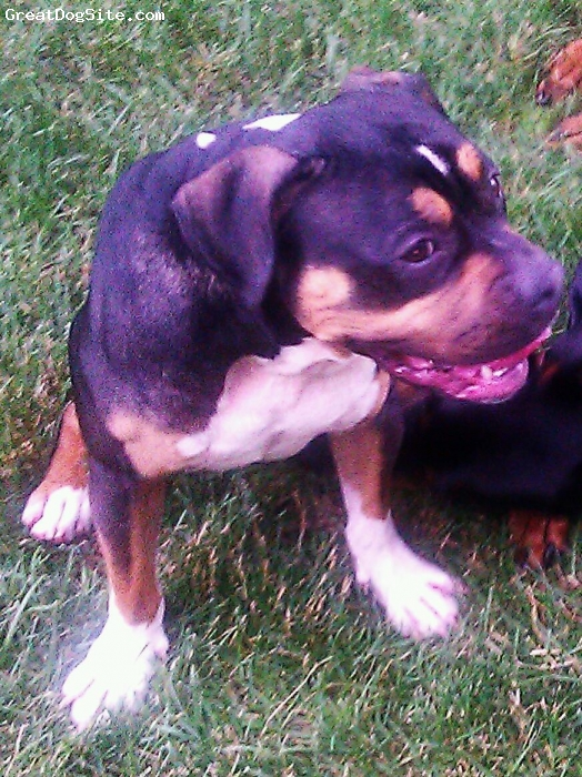 Bulloxer, 2 years, black with tan and white markings, Female 50 pounds