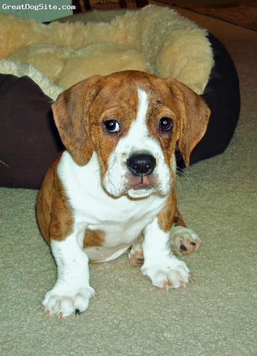 Bully Basset, 2, brindle + white, This was Bingley when he was a puppy!