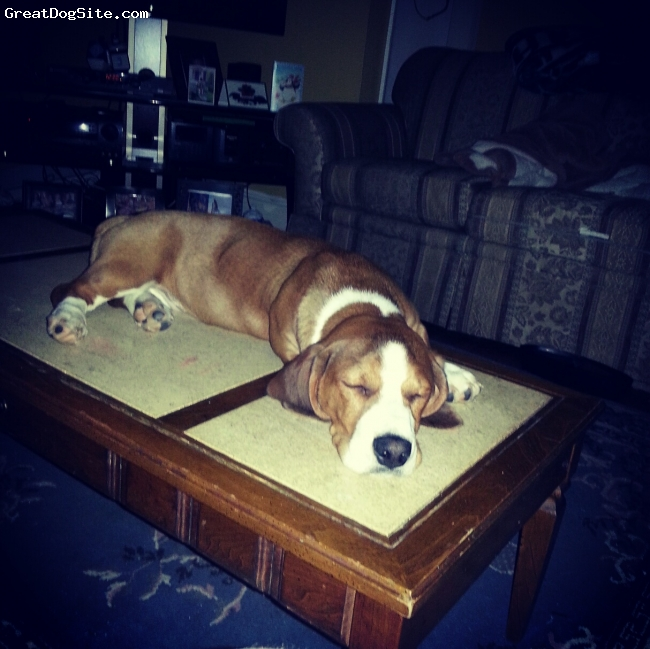 Bully Basset, 7 months, white and  fawn, after  chewing the corners of the table he decided to take a nap on it. 