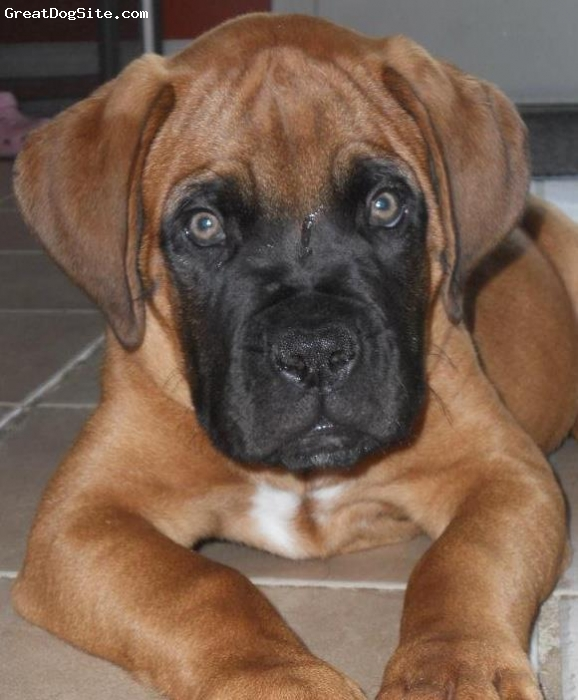 Bully Bordeaux, 4 months, Reddish brown, Here is London posing nicely (he can't get enough of the camera!)