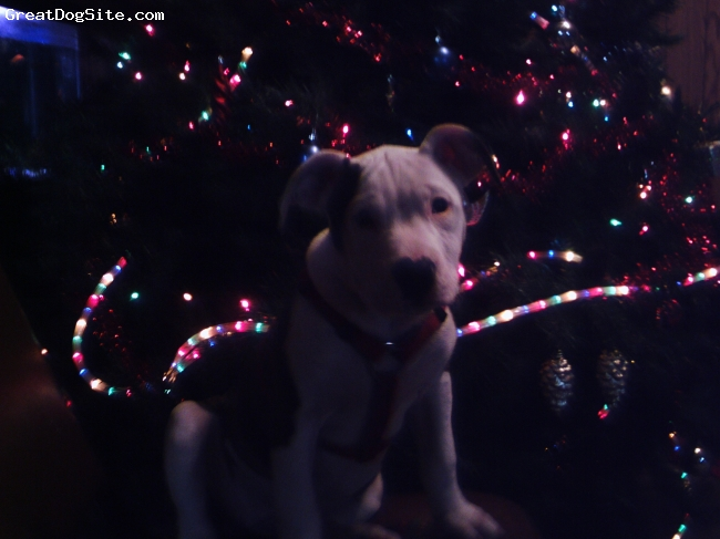 Bullypit, 11weeks, brindel/white, lots of fun easy to train her first christmas