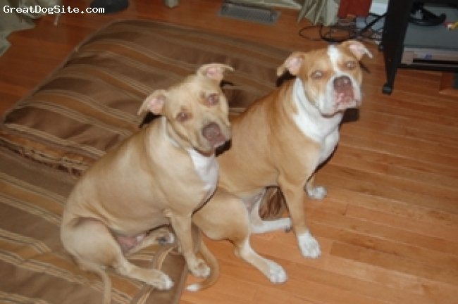 Bullypit, 1, fawn/white, my rednose pit and her daughter old english/pit mix
