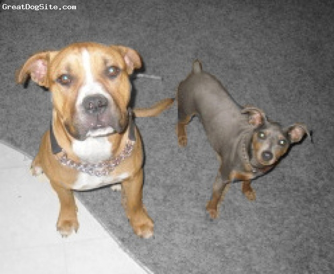 Bullypit, 11 months, carmel, This is Kingston and our AKC Blue and Tan Mini Pin Calvin