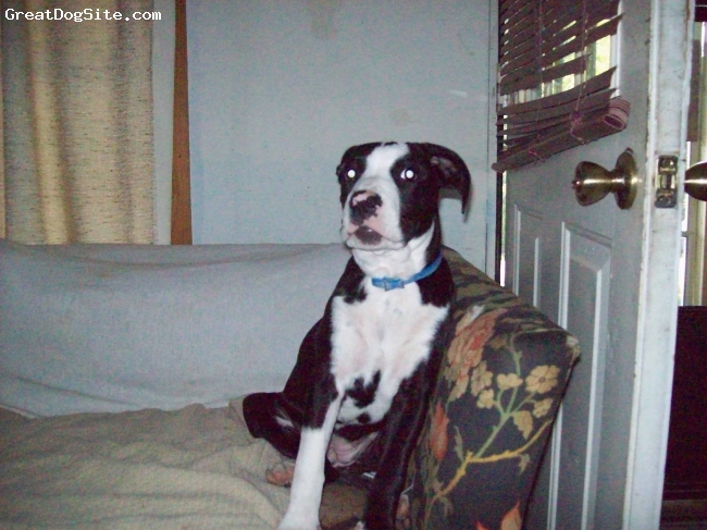 Bullypit, 5 months, Blk/White, Missy is a very mellow little girl.  She is also a goofball.  She does require a lot of physical activity.  She gets along great with my other 2 dogs.