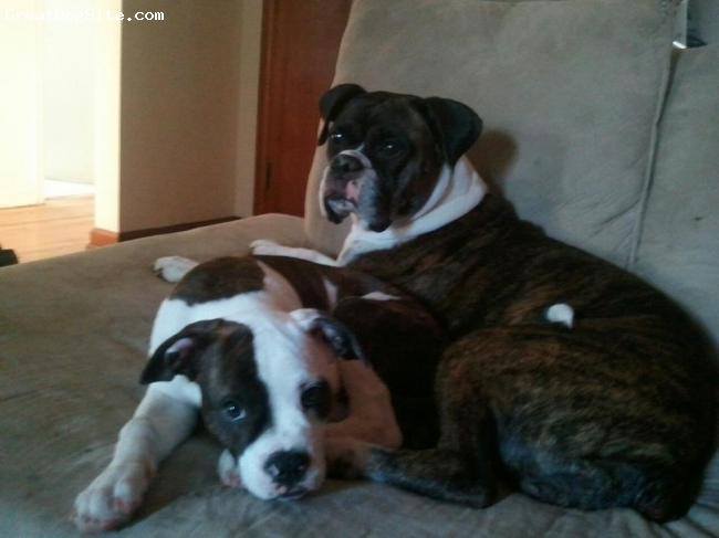 Bullypit, 4 Months, Brindle/White, This is our 4 month old bullypit Maci cuddling with our 5 year old boxer Sadie. Great Dogs!! (Both Breeds)