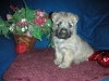 Cairn Terrier, 7 Weeks, Cream Brindle
