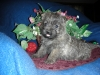 Cairn Terrier, 7 Weeks, Gray Brindle