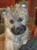 Cairn Terrier, 12 weeks, red brindle/black points