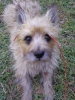 Cairn Terrier, 6, red brindle with black points