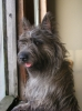 Cairn Terrier, 1 and a half, black/grey