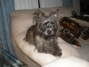 Cairn Terrier, 6 months, mixed color