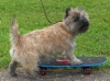 Cairn Terrier, 3 yrs old, Brindle