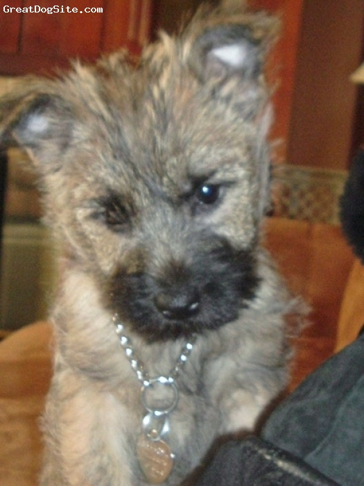 Cairn Terrier, 12 weeks, red brindle/black points, Sweet lovable pup. He's our 1st Cairn and we're in love!