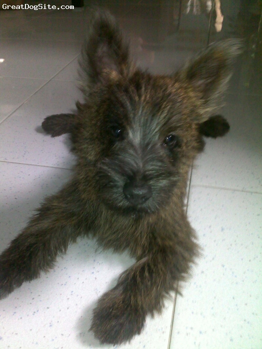 Cairn Terrier, 6 months, Brindle, He is so adorable and cute, very active and has a rascal look on his face but I love him
