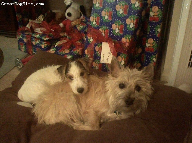 Cairn Terrier, 4, red brindle, Here he is with his buddy Broadway, a 12 week old wire hair fox terrier