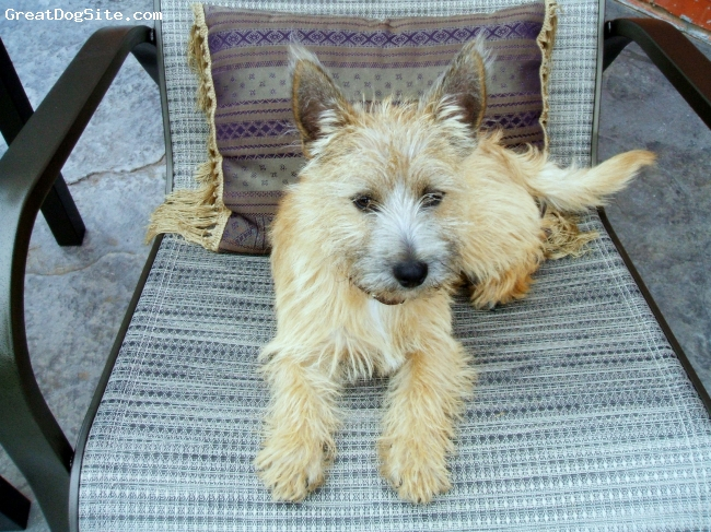 Cairn Terrier, 1 year, blonde, Just soaking up some sun~