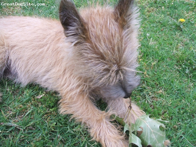 Cairn Terrier, 1 year, blonde, Enjoying an early Fall breeze while investigating a fallen leaf~