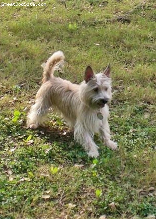 Cairn Terrier, 4, Wheaten, Zoe is a highly intelligent and playful dog!