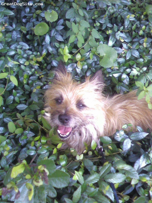 "Cairn Terrier, 6, red brindle with black points, Taking a walk with his pops....""plopping"" down to take a little rest in the ivy."