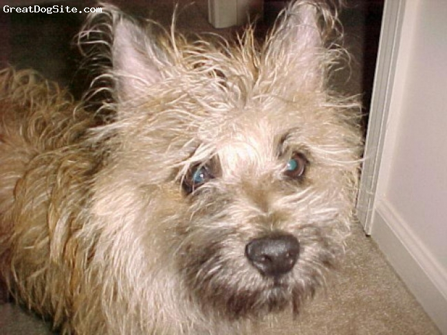 Cairn Terrier, 6 (3ish in this picture), red brindle with black points, after a bath! alll clean!