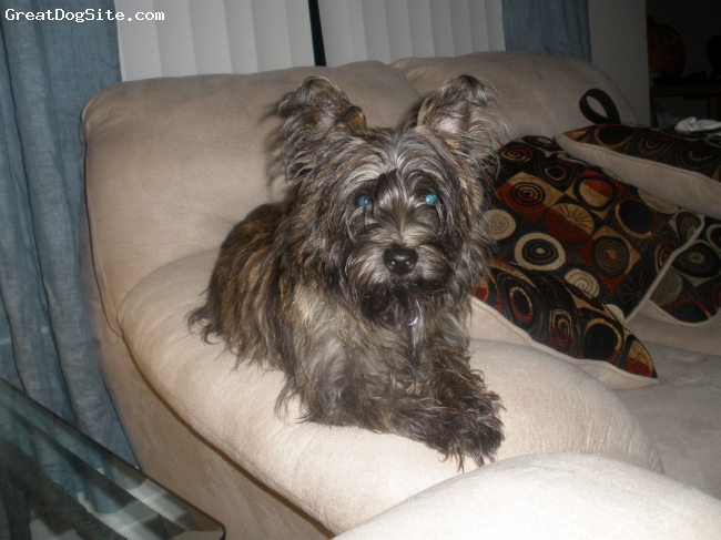Cairn Terrier, 6 months, mixed color, Sweet boy showing off.