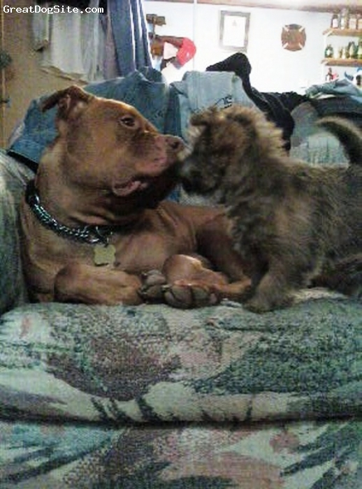 Cairn Terrier, 6mths, Brindle, Buddy was not afraid of Moses even on his first day!