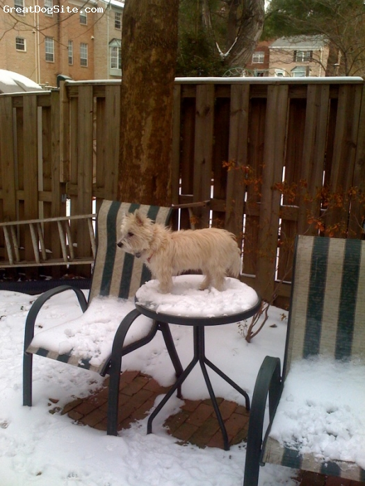Cairn Terrier, 2.5, Gray, Taken first snow fall, Northern VA, looks to look over the fence and walks, loves the cold weather.