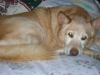 Canaan Dog, 11, light brown