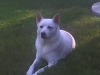 Canaan Dog, 4, White