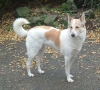 Canaan Dog, 4 years, white with red patches