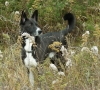 Canaan Dog, 4, Black with white markings